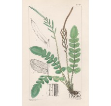 lomaria nigra fern fitch hooker century ferns botanical print antique
