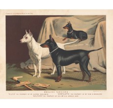 English Terriers Chromolithograph Cassell book dog