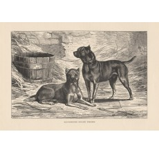 Old Fashioned English Terriers engraving Cassell book dog