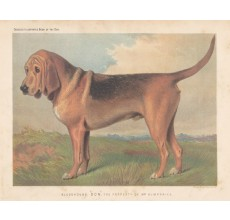 Bloodhound Chromolithograph Cassell book dog