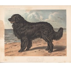 Newfoundland Chromolithograph Cassell book dog
