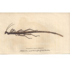 Walking Stick Insect engraving Naturalist's Pocket Magazine