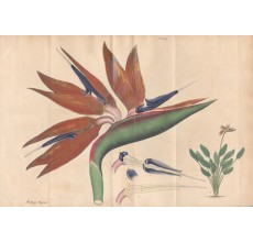 strelitzia regina bird paradise african botanical print antique engraving andrews