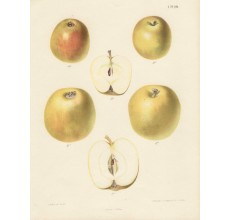 apple fruit botanical print severyns antique chromolithograph