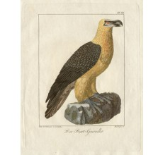 Bearded vulture engraving Nusbiegel Gabler   antique