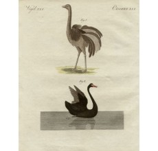 Black Swan New Holland engraving Bertuch