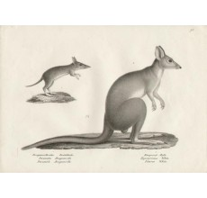 Perameles Bougainville Bandicoot Potoroo Lithograph Brodtmann