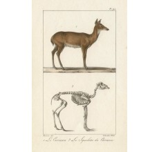 Cariacou Deer Lithograph French antique print