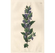 hovea loddiges botanical register print antique engraving