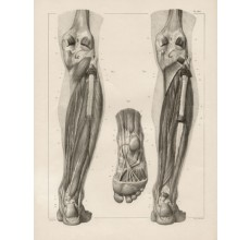 Anatomy medical Bougery French lithograph leg muscles