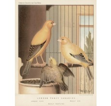 London Fancy Canaries Chromolithograph William Rutledge