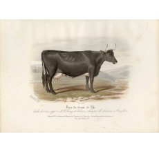 Low Domestic Breeds Fifeshire Cattle Lithograph Nicholson Shiels