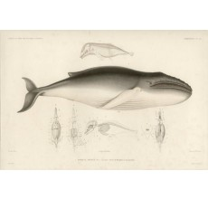 Rorqual Noueux engraving Werner whale
