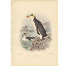 Mathews Birds Royal Macaroni Penguin Lithograph Gronvold