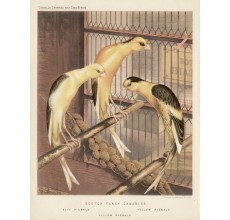 Scotch Fancy Canaries Victorian Chromolithograph Ludlow