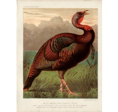 Poultry Wild American Turkey Cock Chromolithograph  JW Ludlow