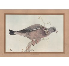Wood Pigeon Edward Detmold Nature pictures