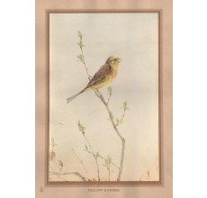 YellowHammer Edward Detmold Nature pictures