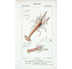 Shrimp engraving French antique print