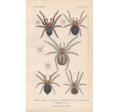spiders spider theridion