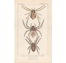aranea oxyopes spiders spider print