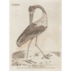 New Holland Jabiru engraving John Latham