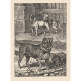 Bull Terrier Cross engraving Cassell book dog