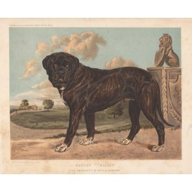 Mastiff Chromolithograph Cassell book dog