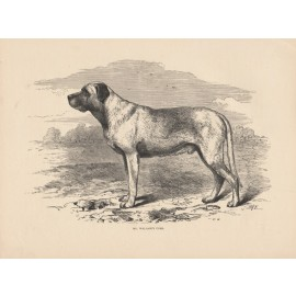 Turk Mastiff engraving Cassell book dog
