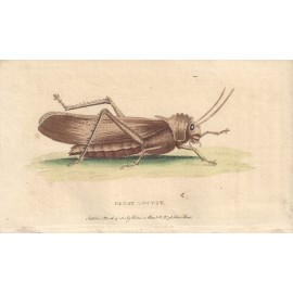 Great Locust engraving Naturalist's Pocket Magazine insect