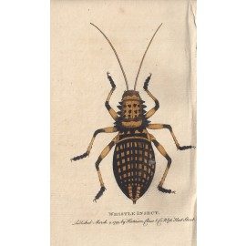 Whistle Insect engraving Naturalist's Pocket Magazine