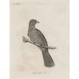 Thick Billed Thrush Piopio New Zealand engraving John Latham
