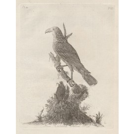 New Zealand Falcon engraving John Latham 1781