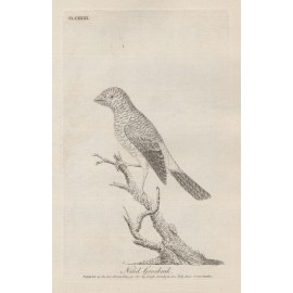 Nilid Grosbeak engraving John Latham 1801