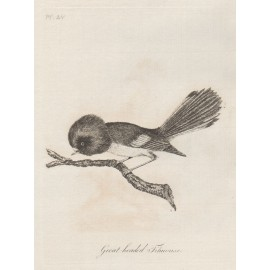 Great headed titmouse New Zealand engraving Latham