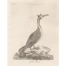 Spotted Pelican New Zealand engraving John Latham