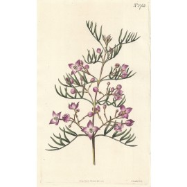 boronia pinnata curtis botanical magazine print antique engraving