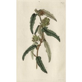 lasiopetalum rusty curtis botanical magazine print antique engraving