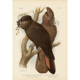 Great-billed Black Western Black Cockatoo Chromolithograph Broinowski