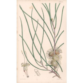 Hakea Scoparia - Curtis Botanical lithograph