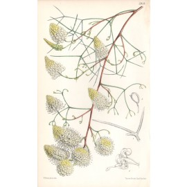Grevillea Intricata curtis botanical engraving