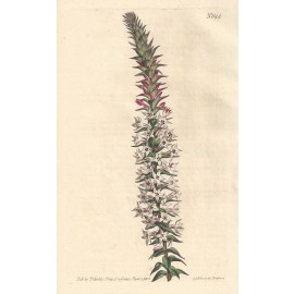 epacris rigid curtis botanical magazine print antique engraving