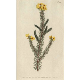 dillwynia curtis botanical magazine print antique engraving