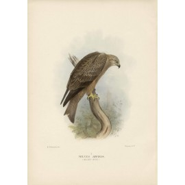 Mathews Birds Australia Allied Kite Lithograph