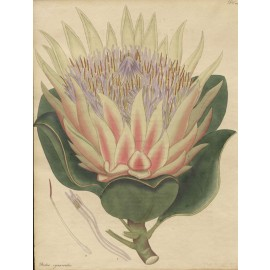 protea cynaroides african botanical print antique engraving andrews