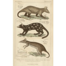Crab eating Opossum White Dasyurus Peramelese engraving