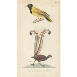 Lyre Bird engraving 1837