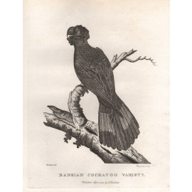 Bankian Cockatoo engraving Sydenham Edwards Latham 1789