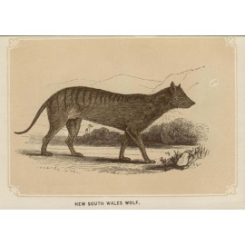 New South Wales Wolf  lithograph thylacine