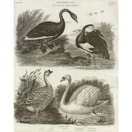 Ornithology Black Swan engraving Sydenham Edwards